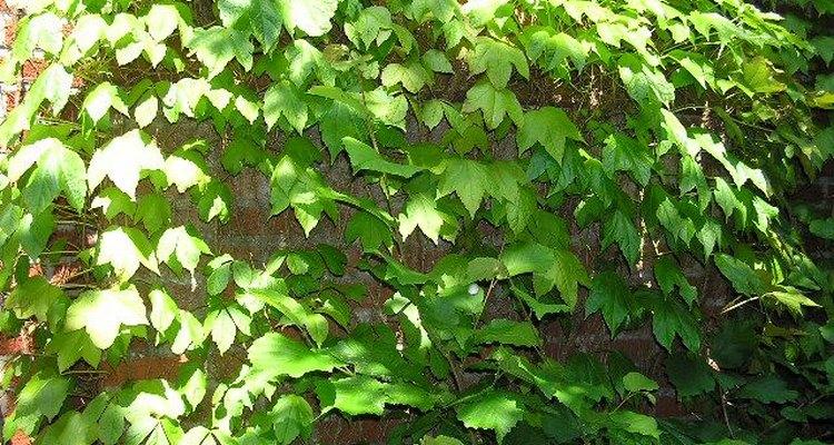 La parra virgen se puede cultivar en una maceta de interiores.