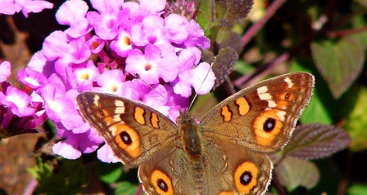 Las lantanas atraen a las mariposas.
