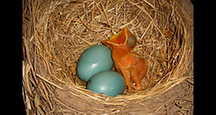 A newly hatched baby robin begs for food next to its unhatched siblings. Christina: Flickr.com