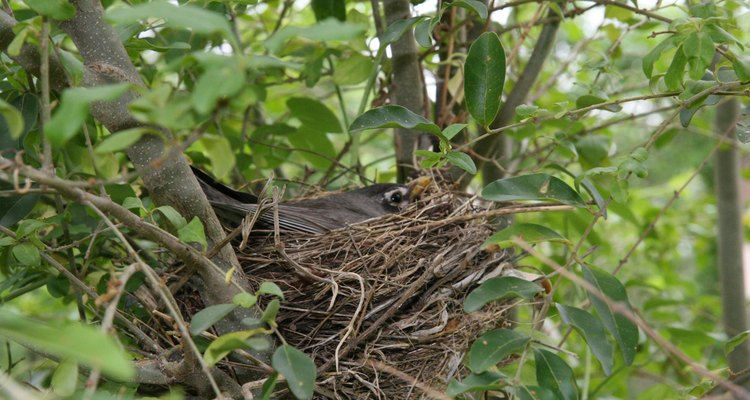 A mother robin is beautifully camouflaged as she sits on her eggs. taliesin: Creativecommons.org