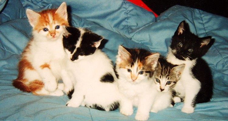 Proteger a los gatitos de las pulgas es una tarea fácil.