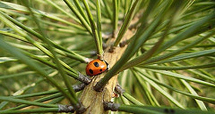 O pinheiro está na família das árvores perenes, o que significa que ela não perde as suas agulhas (folhas), como as árvores decíduas