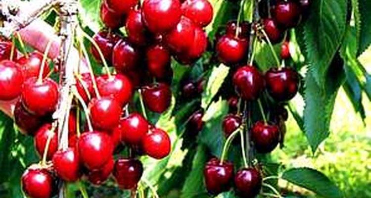 Greenhouse cherries.
