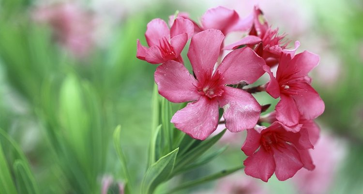 Care for your oleander in the winter so it will grow again in the spring.