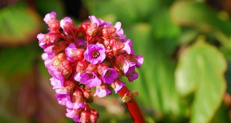 Bergenia (Elephant's ears) boasts attractive flowers and foliage.