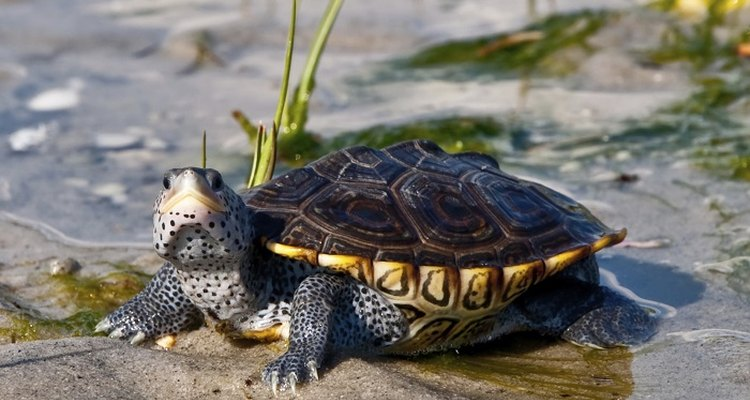 The sexual maturity of some terrapins is determined by size and not age.