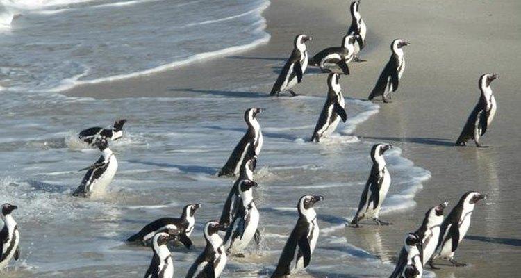 Colonia de pingüinos.
