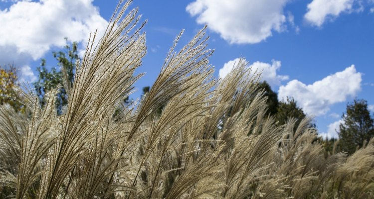 Pampas grass is an invasive weed with sharp leaves and high pollen.