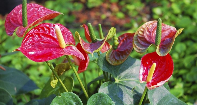 Anthurium is an easy-going houseplant.