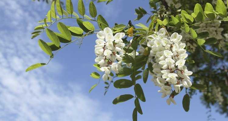 Regular pruning will keep your Robinia pseudoacacia healthy.