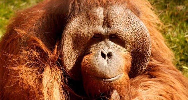 Orangutanes.