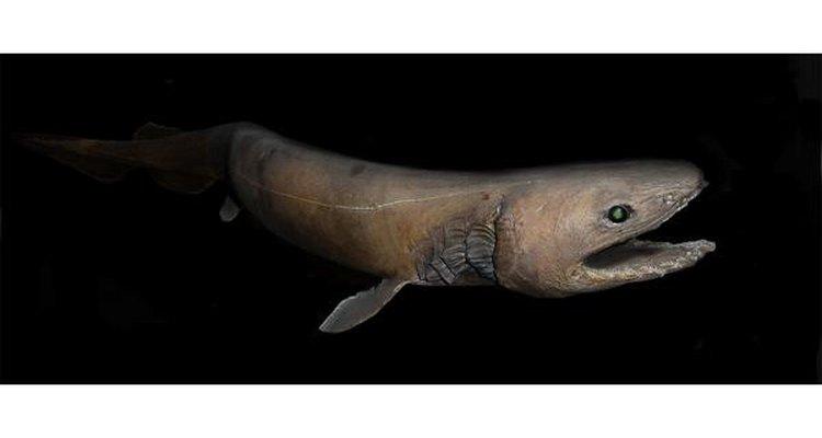 El tiburón anguila se asemeja a una gigantesca anguila.