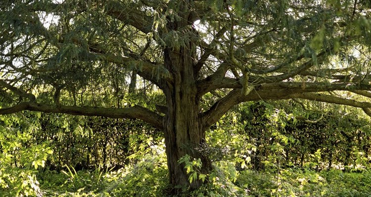 Yew trees can live for hundreds of years.
