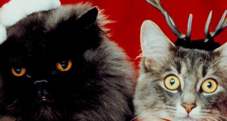 Razas de gatos amigables.