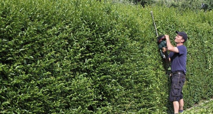 Privet is a versatile deciduous shrub.