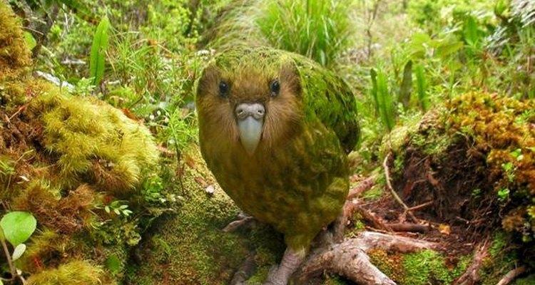 El Kakapo habita en Nueva Zelanda.