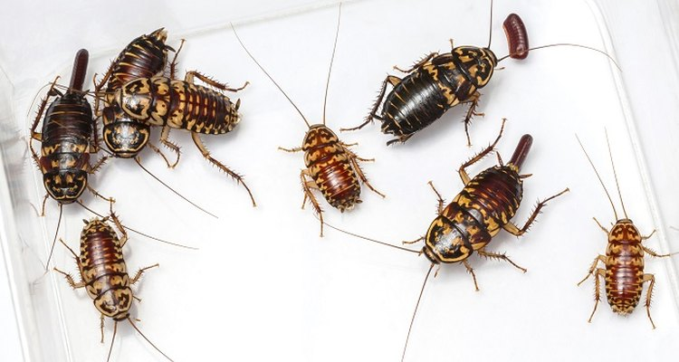 Cockroaches are frequent household pests.