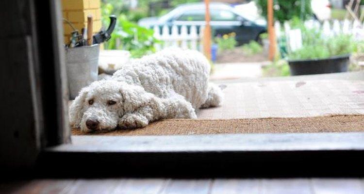 Poodle abandonado.
