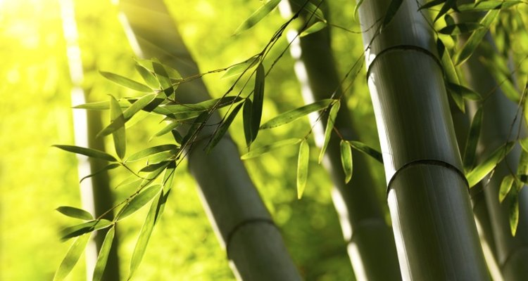 Under the right conditions, bamboo will grow quickly.