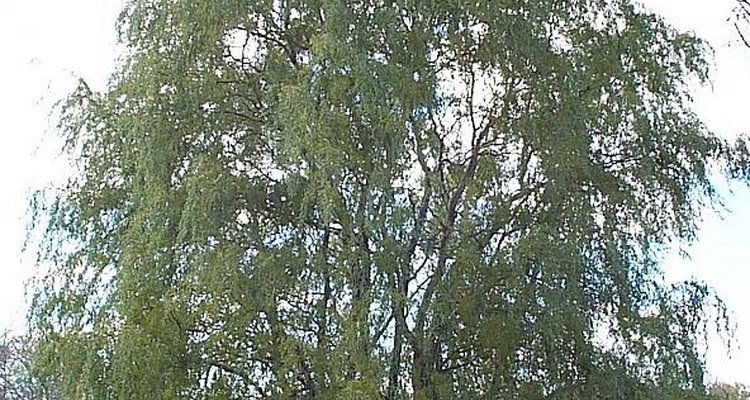 The curly willow is also called the Peking willow.