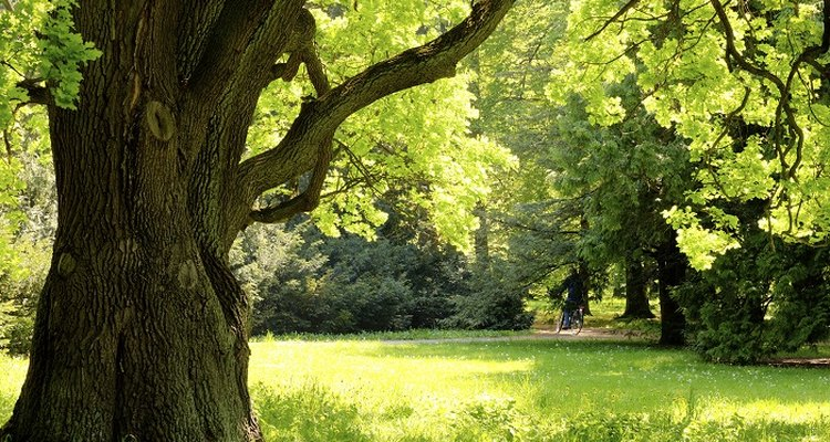 Oak trees are used for their shade and their wood.