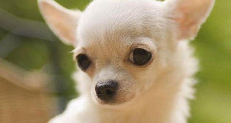 El chichuahua es un perro muy fiel y cariñoso.