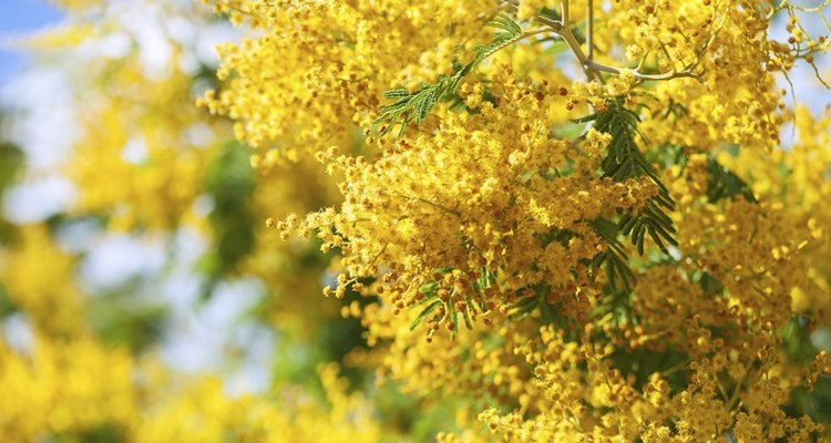 Acacia dealbata mimosa produces clusters of vivid yellow flowers.