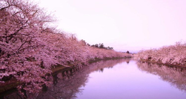 Cherry blossom trees product some stunning scenery in Japan.