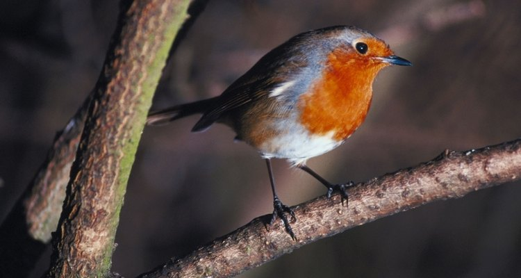 The European Robin is one of the most recognisable birds.