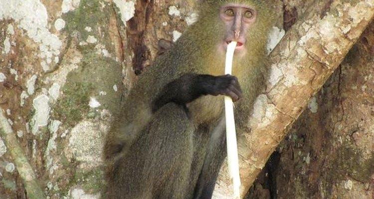 El Lesula es una nueva especie de primates que habita en el Congo.