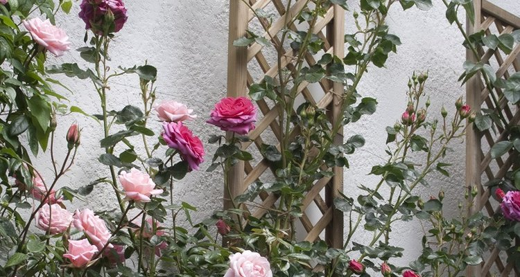 Climbing roses will happily grow along a wall trellis.