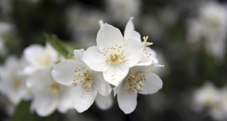 Jasmine flowers have a heady floral aroma.