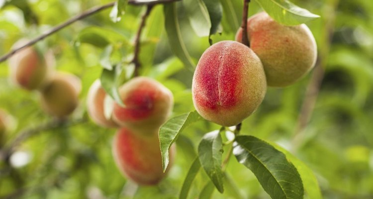 Peach trees grow up to 4.6 metres (15 feet) tall.