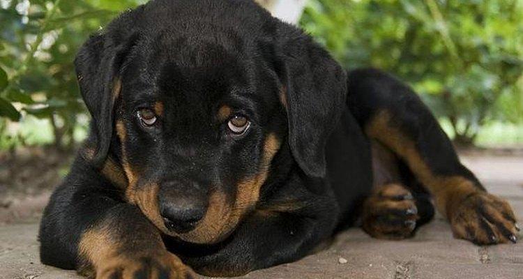 En España se debe pedir permiso para criar un rottweiler.
