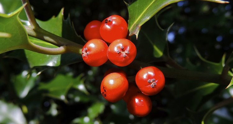Holly berries are tenacious and stay on the trees through spring.
