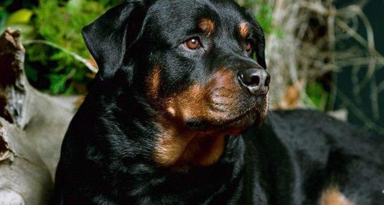Pueden nacer más de 10 cachorros por camada.