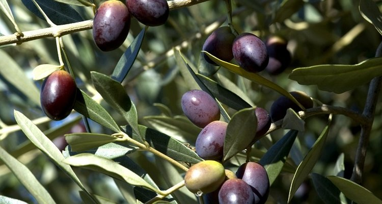 Olive trees are a strong and ancient plant native to the Mediterranean, Asia and Africa.