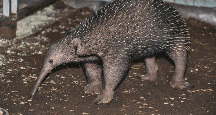 El Zagloso es pariente de los equidnas.