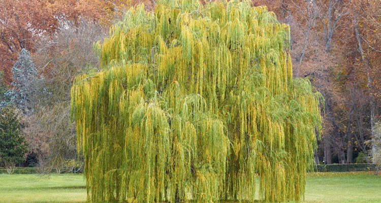 The graceful weeping willow is a deciduous tree.