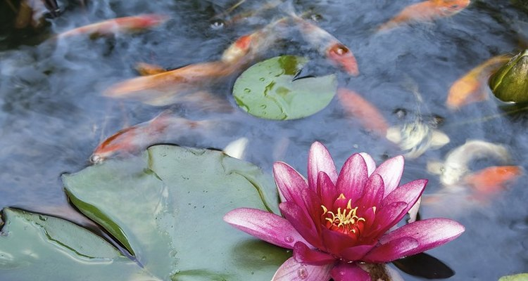 Avoid overfeeding fish to keep pond water clean.