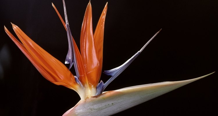 Bird of paradise can be grown in the UK, but must be protected from the cold.