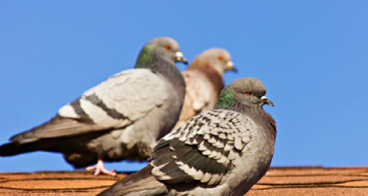 You'll have to use a combination of approaches to rid your house of pigeons.