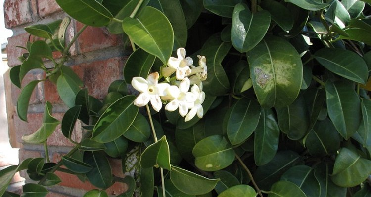 Stephanotis requires a trellis or wire frame on which to grow.