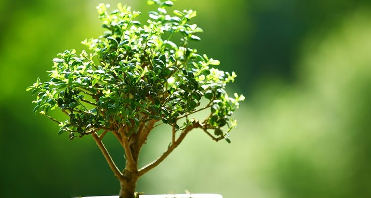 Bonsai trees are miniature versions of larger trees.