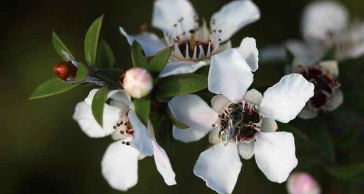 El arbusto manuka, símbolo de Nueva Zelanda.
