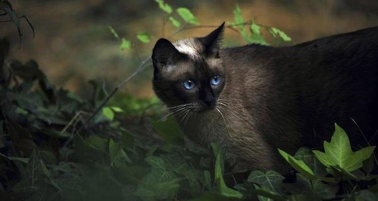 El gato siamés es un animal carnívoro.