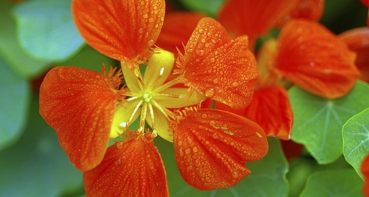 As well as being attractive to look at, nasturtiums are edible.