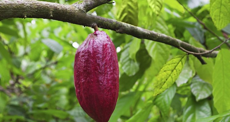 The cocoa bean tree, also known as the cacao plant, with its distinctive purple pods.