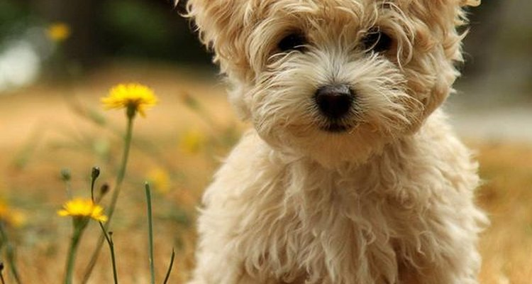 El poodle adora ser el centro de atención.