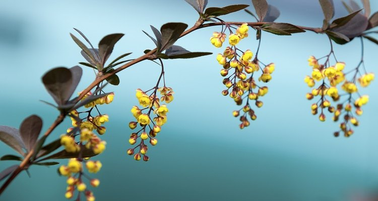 The berberis produces attractive yellow blooms in spring.